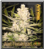 Amnesia Just Feminized Mix & Match Seeds
